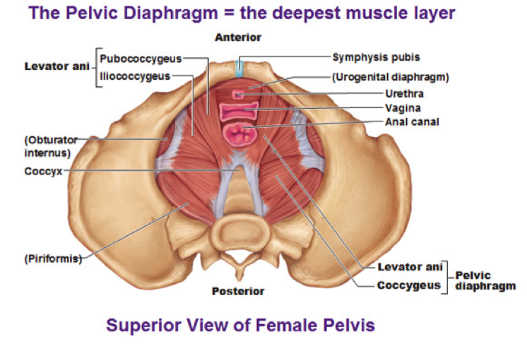Satisfied levator anus muscles damn!